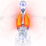 3d render medical illustration of the human lung Stock Photography