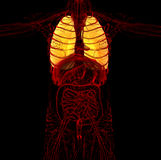3d render medical illustration of the human lung Royalty Free Stock Images