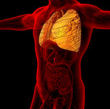 3d render medical illustration of the human lung Stock Image