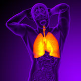 3d render medical illustration of the human respiratory system Stock Images