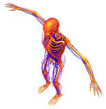 3d render medical illustration of the human skeleton Stock Photography