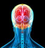 3d render medical illustration of the human skull Stock Image