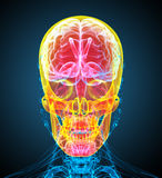 3d render medical illustration of the human skull Royalty Free Stock Image