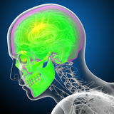 3d render medical illustration of the human skull Royalty Free Stock Photography