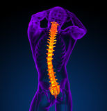 3d render medical illustration of the human spine Royalty Free Stock Photos