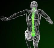 3d render medical illustration of the human spine Royalty Free Stock Images