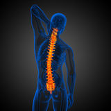 3d render medical illustration of the human spine Stock Images