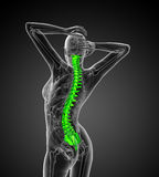 3d render medical illustration of the human spine Royalty Free Stock Photo