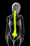 3d render medical illustration of the human spine Royalty Free Stock Images