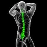 3d render medical illustration of the human spine Stock Images