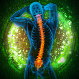3d render medical illustration of the human spine Royalty Free Stock Photography