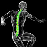3d render medical illustration of the human spine Stock Photography