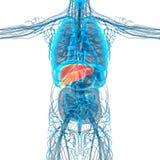 3d render medical illustration of the liver Stock Photo