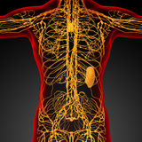 3d render medical illustration of the lymphatic system Stock Images