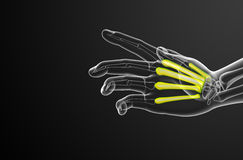3d render medical illustration of the metacarpal bone Stock Images