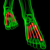 3d render medical illustration of the metatarsal bones. Front view Stock Image