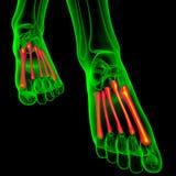 3d render medical illustration of the metatarsal bones Stock Image