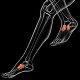 3d render medical illustration of the midfoot bone Royalty Free Stock Photo