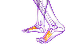 3d render medical illustration of the midfoot bone Stock Photo