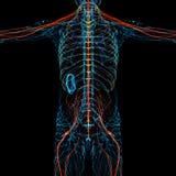 3d render medical illustration of the nerve system Stock Photography