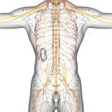 3d render medical illustration of the nerve system Stock Images