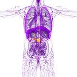 3d render medical illustration of the pancreas Royalty Free Stock Image
