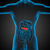 3d render medical illustration of the pancrease Royalty Free Stock Photos