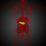 3d render medical illustration of the  pancrease Royalty Free Stock Photography