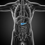3d render medical illustration of the  pancrease Stock Photos