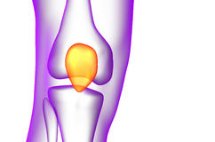 3d render medical illustration of the patella bone Royalty Free Stock Photography