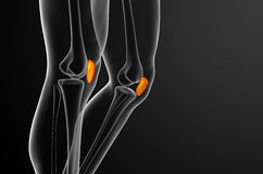 3d render medical illustration of the patella bone Royalty Free Stock Images