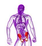 3d render medical illustration of the pelvis bone Royalty Free Stock Images