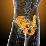 3d render medical illustration of the pelvis bone Stock Photo