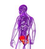 3d render medical illustration of the pelvis bone Stock Photos