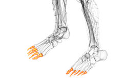 3d render medical illustration of the phalanges foot Stock Photography