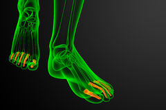 3d render medical illustration of the phalanges foot Royalty Free Stock Photography