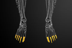 3d render medical illustration of the phalanges foot Royalty Free Stock Photos