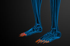 3d render medical illustration of the phalanges foot Royalty Free Stock Photo