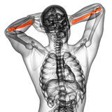 3d render medical illustration of the radius bone Royalty Free Stock Photos