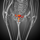 3d render medical illustration of the Reproductive System Stock Photography