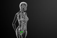 3d render medical illustration of the Reproductive System Royalty Free Stock Photography