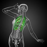 3d render medical illustration of the ribcage Royalty Free Stock Photos