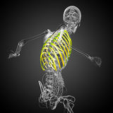 3d render medical illustration of the ribcage Stock Images