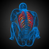 3d render medical illustration of the ribcage Stock Photos