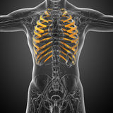 3d render medical illustration of the ribcage Royalty Free Stock Photography