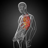 3d render medical illustration of the ribcage Royalty Free Stock Photo