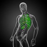 3d render medical illustration of the ribcage Stock Image