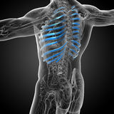 3d render medical illustration of the ribcage Royalty Free Stock Image