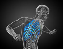 3d render medical illustration of the ribcage Stock Photography