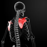 3d render medical illustration of the scapula Royalty Free Stock Image
